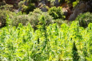 ウルグアイは麻産業と中南米の大麻のリーダーシップを継続